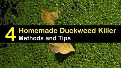 rid  duckweed  homemade duckweed killer