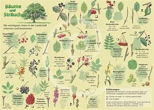 Immergrüne Sträucher Und Bäume : natur entdecken b ume und str ucher ~ Michelbontemps.com Haus und Dekorationen