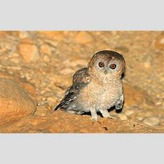 New Animal Species Cryptic Middle Eastern Owl The Desert Tawny Owl Lives In The Deserts Of