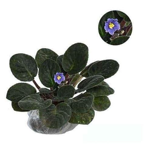 jual tanaman blue african violet bibit