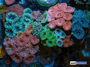 Beginner Tips For Lps Corals
