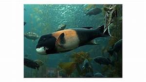 California sheephead, Kelp Forest, Fishes, Semicossyphus ...