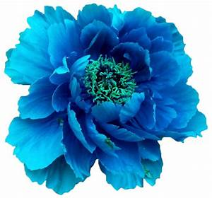 Blue peony. (x).