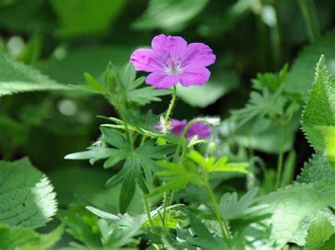 wildblumen lexikon mit bildern wildblumen
