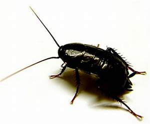 Cafard De Jardin Comment S En Débarrasser : conseils pour se d barrasser efficacement des blattes ~ Dallasstarsshop.com Idées de Décoration
