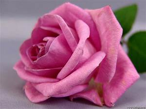 Roses For All Seasons  The Meaning Of Pink Roses  Love And