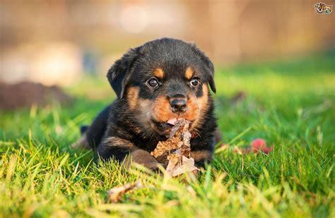 cachorros rottweiler garantia de raza de por vida