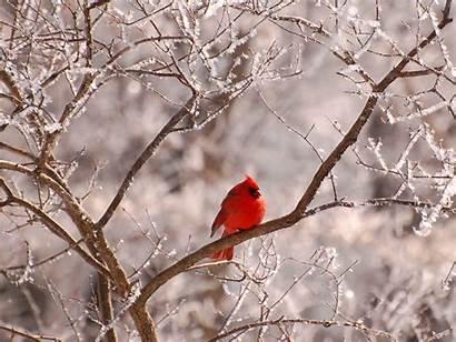 Cardinal Winter Bird Background Cardinals Birds Snow