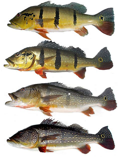 peacock bass identification guide cichla temensis acute