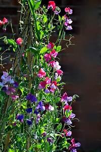 best 25 sweet peas ideas on pinterest sweet pea flowers With katzennetz balkon mit garden sweet pea