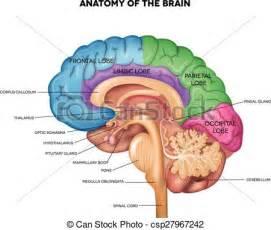 Anatomy Human Brain Drawing