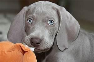 Baby Blitz the Weimaraner puppy | Things I Love | Pinterest