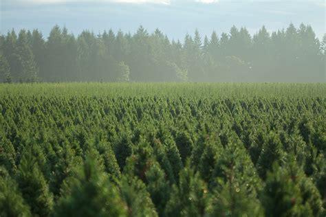 oregon christmas tree growers farms wholesale trees trees in oregon