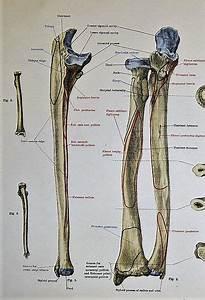 Ulna Bone Diagram