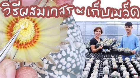 วิธีผสมเกสร และ เก็บเมล็ด Astrophytum ของสวน Mr.Myrio | Cactus Journey EP.25