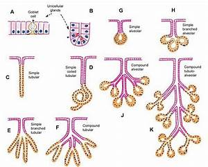 Glands  Classifications  Types  Functions And Diagrams