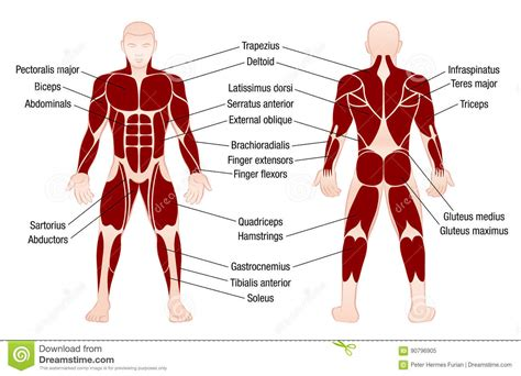 The human muscular system is complex and has many functions in the body. Muscles Chart Description Muscular Body Man Stock Vector ...