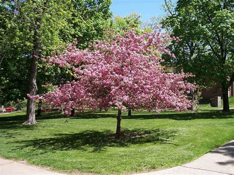 different types of cherry trees tree variety cherry trees different types of flowering cherry trees