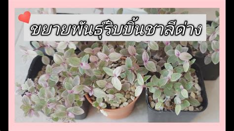 การขยายพันธุ์ริบบิ้นชาลีด่าง ll Mook Pornsawan - YouTube