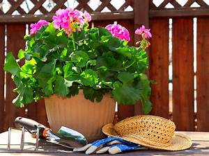 How and When to Plant Geraniums DIY