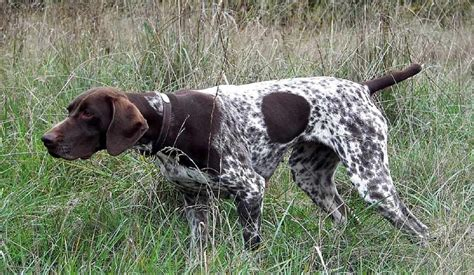 german shorthaired pointer dog breed standards