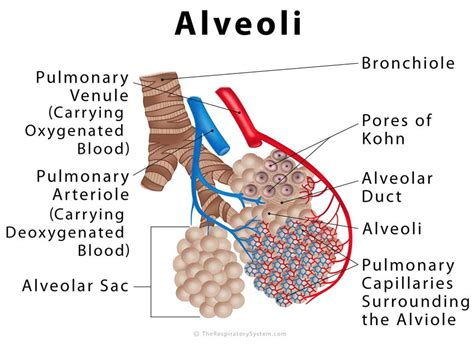 alveoli definition location anatomy function diagrams