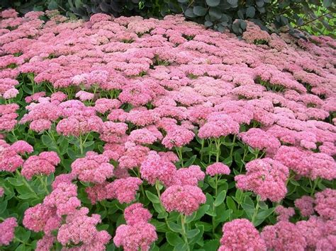 sedum with pink flowers 8 ground cover plants and the benefits of growing them