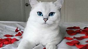 Most Beautiful Cat Eyes In The World(Cat With Blue Eyes ...