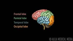 Labeled Picture Of The Human Brain Neuroscience Basics