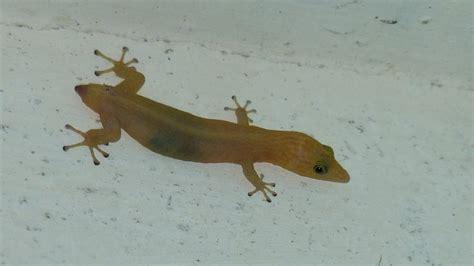house gecko tropical house gecko markeisingbirding