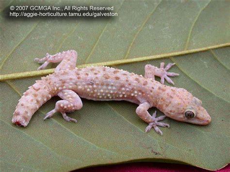 gecko lizard beneficial lizards in the landscape 17 mediterranean gecko hemidactylus turcicus