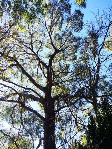 deadwood removal  leichhardt sydney tree company