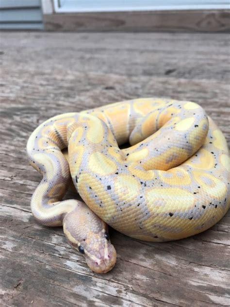 reasons  buy  snake  lafayette ledger