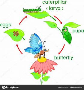 Life Cycle Butterfly Sequence Stages Development Egg Adult