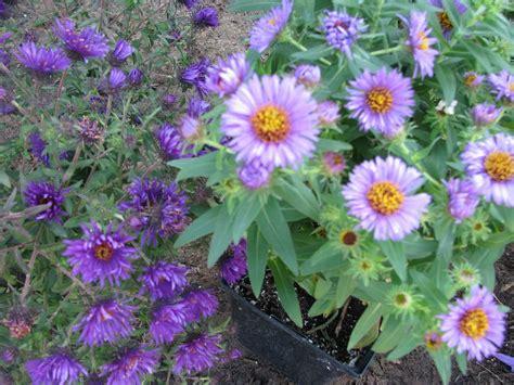 or perennial perennial plant bing images
