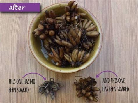 how to plant ranunculus the enduring gardener