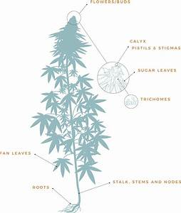 Introduction To Cannabis  Anatomy Of A Plant