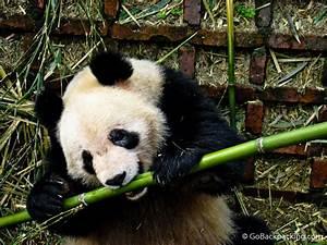 Photo Essay: Panda Bears in Chengdu