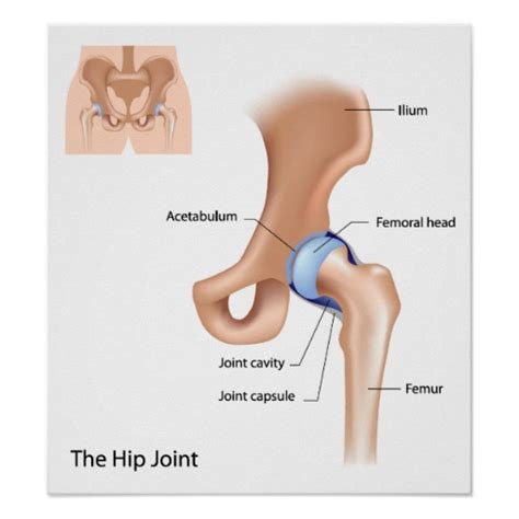 hip joint diagram hip get free image about wiring diagram
