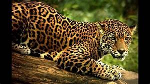 ¿Qué significa soñar con jaguar? - Sueño Significado - YouTube  Jaguar