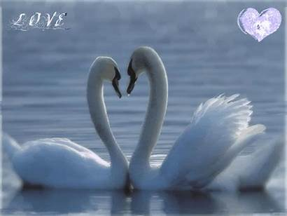 Swan Gifs Paradise Friday