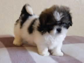 lhasa apso shih tzu mix puppies car interior design