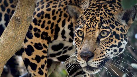 jaguar san diego zoo animals plants