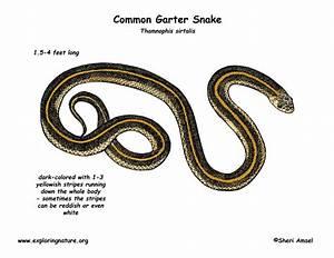 Snake  Common Garter