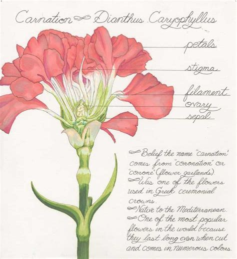 Carnation Anatomy Diagram by 25 Best Carnation Images On Carnations Cut