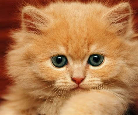 hd cat wallpapers kitten images claw animals pets