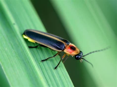 light up bug firefly lightning bug hgtv