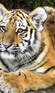 Animals Tiger Predator Young · Free photo on Pixabay