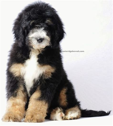 bernedoodle bernese mountain dog and poodle