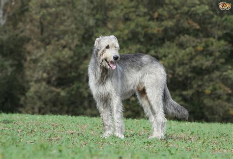 irish wolfhound puppies pictures dog breeds picture